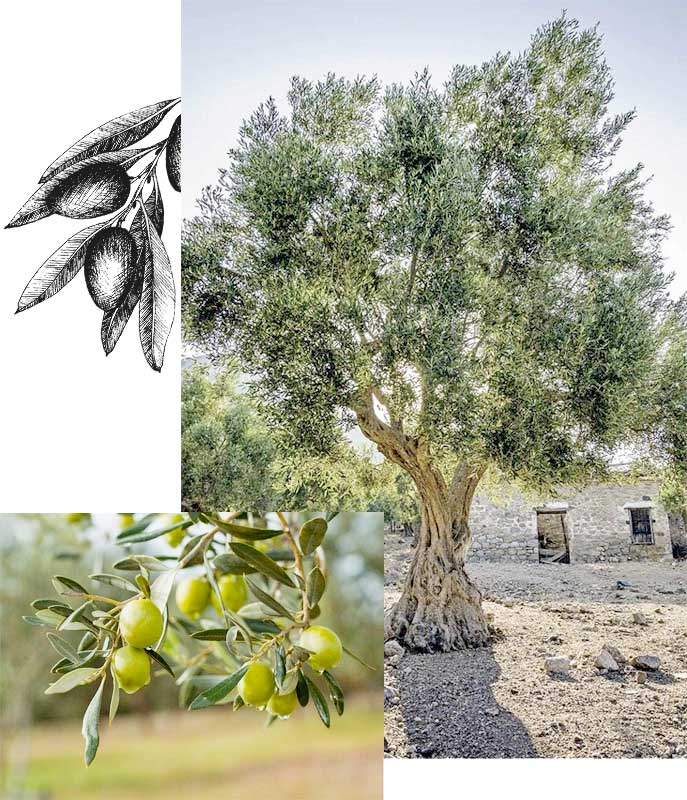 apadrina-olivo-imagen-molisur-coin